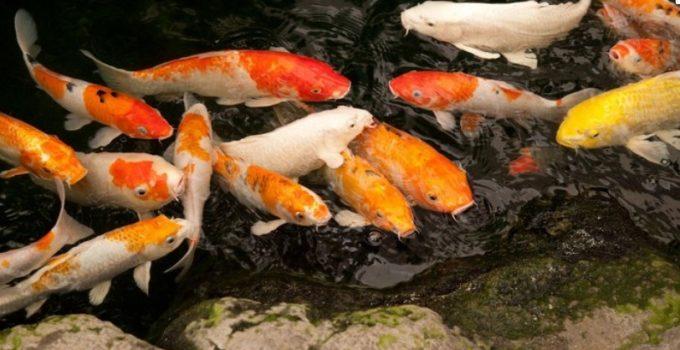 Tips Komplit Budidaya Ikan Koi