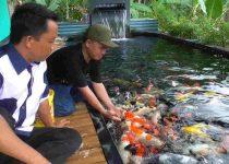 Cara Budidaya Ikan Koi Bagi Pemula