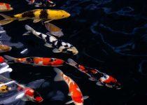3 Langkah 🐾 🐾 Cara Memilih Ikan Koi Yang Benar