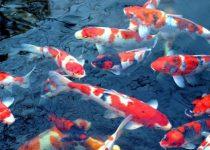 7 Langkah Menjaga serta Pelihara Ikan Koi Yang Baik