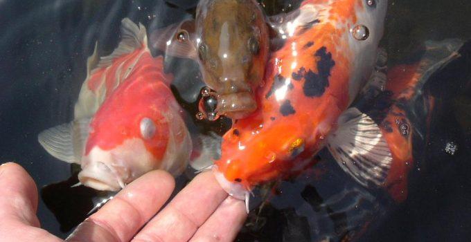 Pakan Ikan Koi Alami Selain Pelet