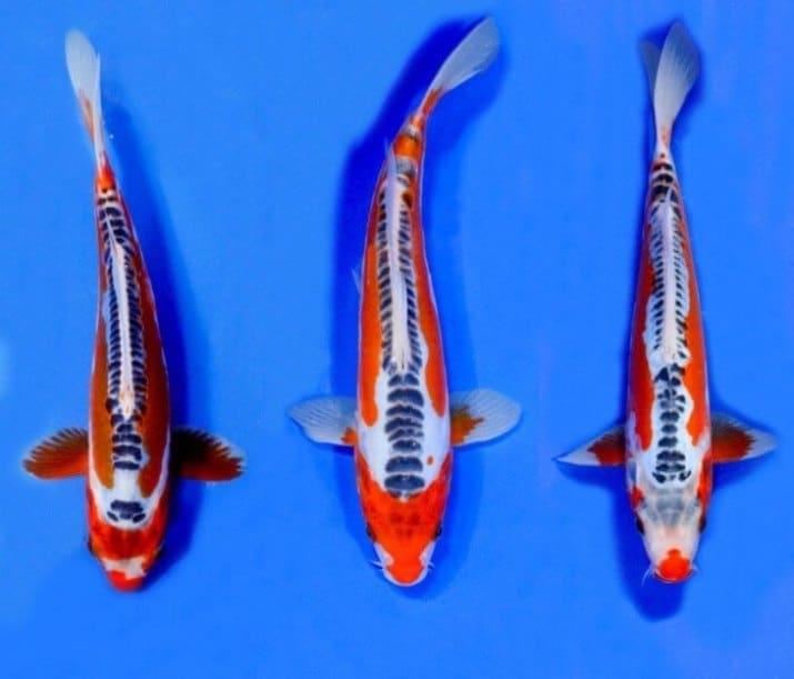 Ikan Koi Sushui, 💖💖 Si Cantik Unik