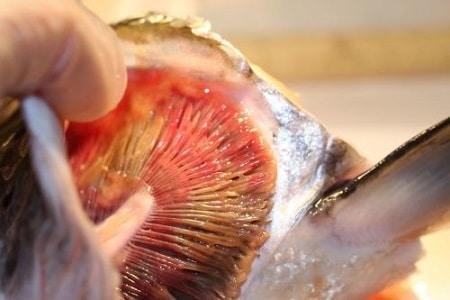 Pengobatan Busuk Insang Pada Ikan Koi