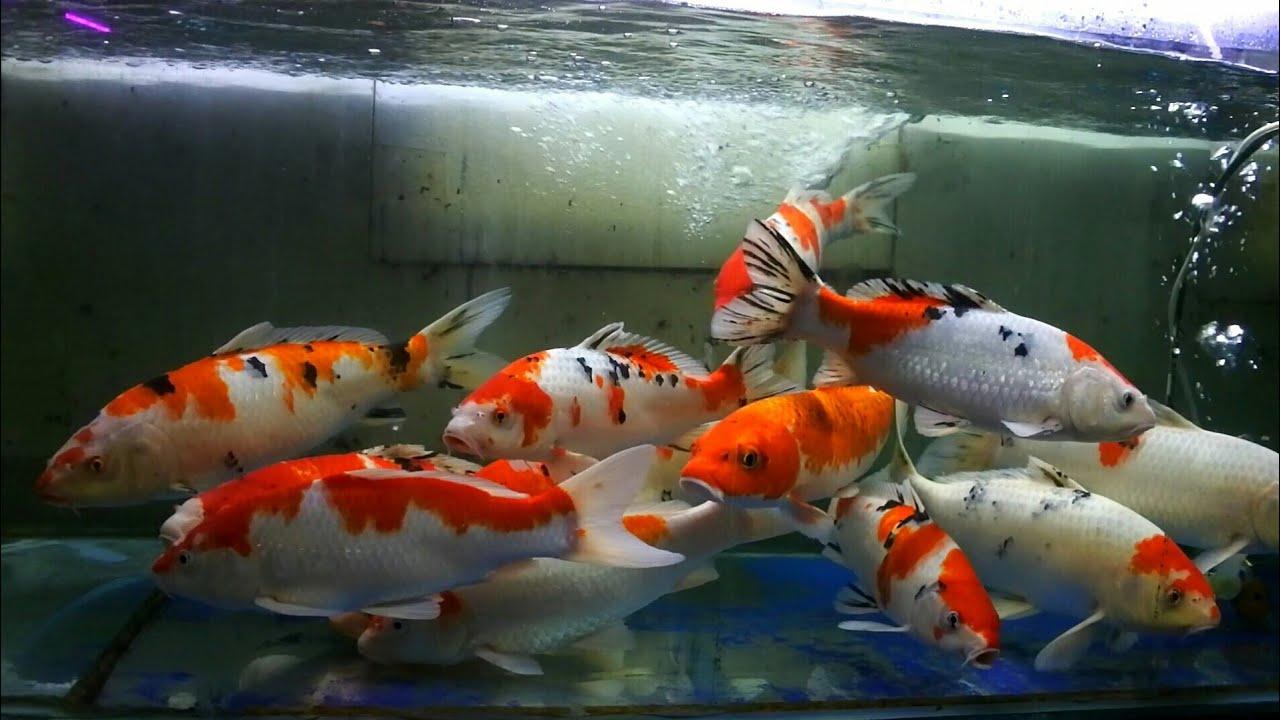Tips Membuat Aquarium Ikan Koi