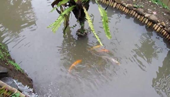 budidaya ikan koi di kolam tanah