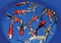Perbedaan Ikan Koi Lokal dan Import