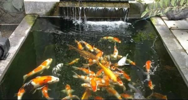 Pakan Ikan Koi Alami Selain Pelet Jual Ikan Koi