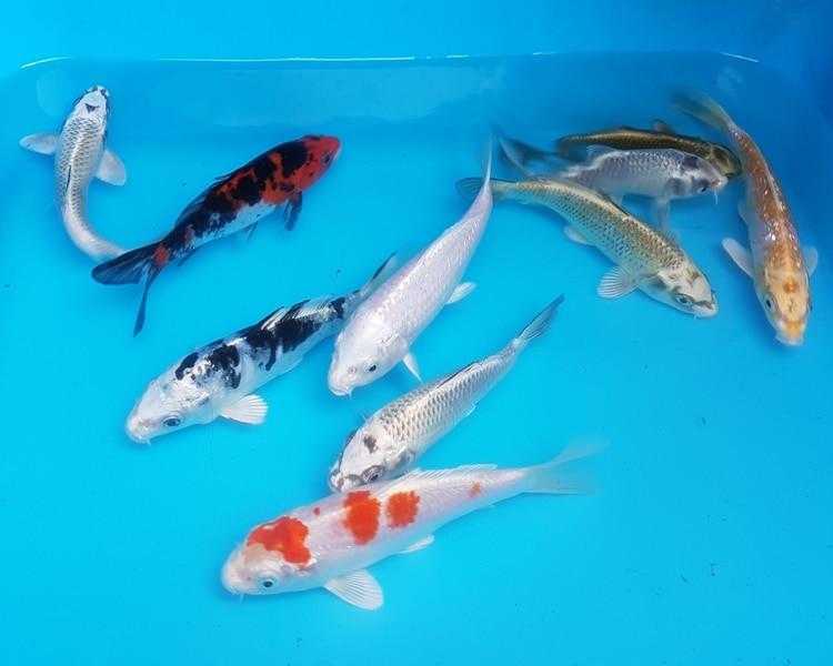 5 Jenis Ikan Koi Terbaik Jual Ikan Koi