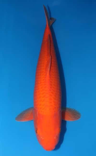 Jual Ikan Koi Benigoi