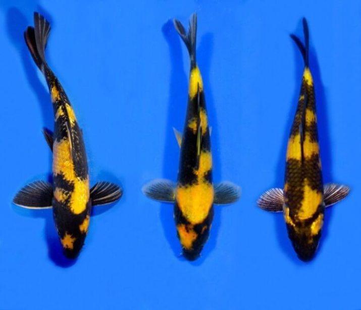 Jual Ikan Koi Ki Utsuri