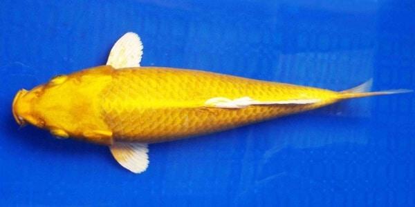 Jual Ikan Koi Kigoi