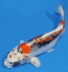 Jual Ikan Koi Kikokuryu