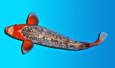 Jual Ikan Koi Kinginrin