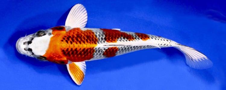 Jual Ikan Koi Kujaku