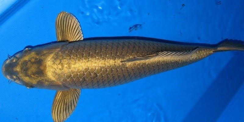 Jual Ikan Koi Nezu Ogon