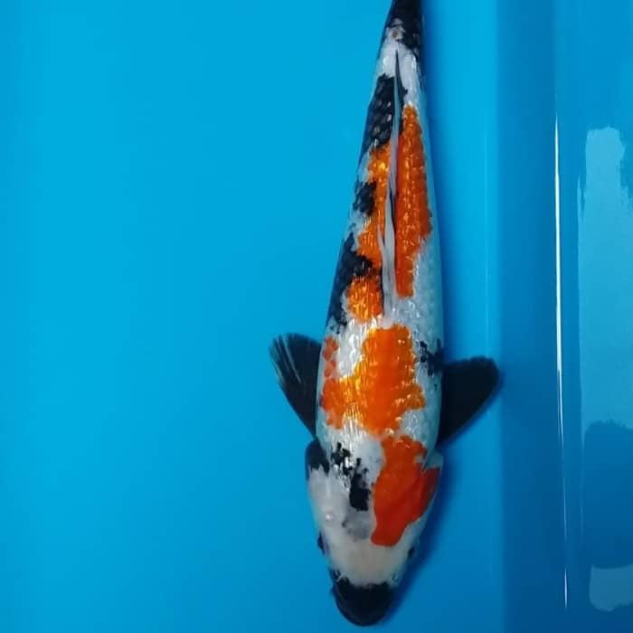 Jual Ikan Koi Showa Ginrin