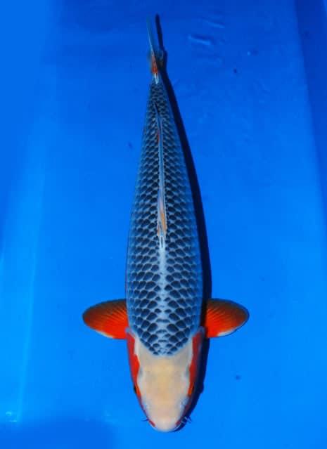 Jual Ikan Koi Shusui Asagi