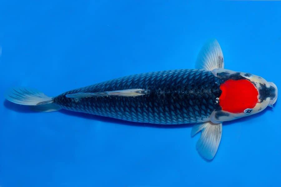 Jual Ikan Koi Tancho Goshiki