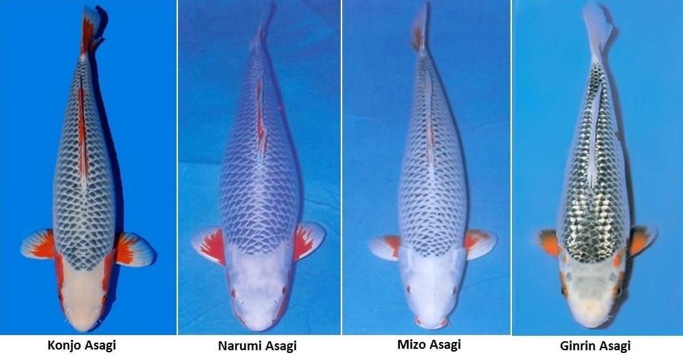 Jual Ikan Koi Asagi