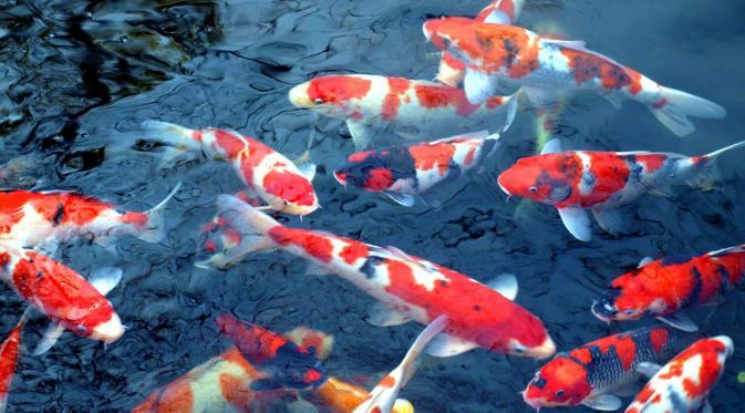 Jual Ikan Koi Surabaya