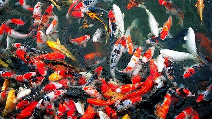 Jual Ikan Koi Yogyakarta