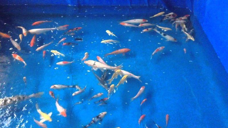 Jual Ikan Koi Jakarta