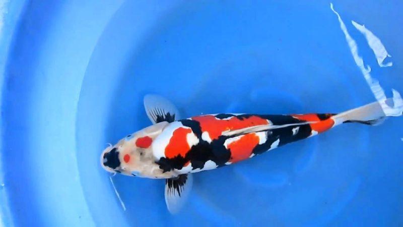 Jual Ikan Koi Bekasi