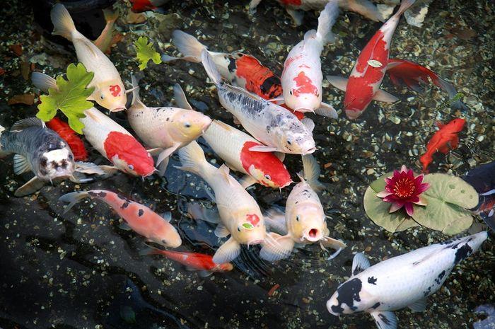 Jual Ikan Koi Jayapura