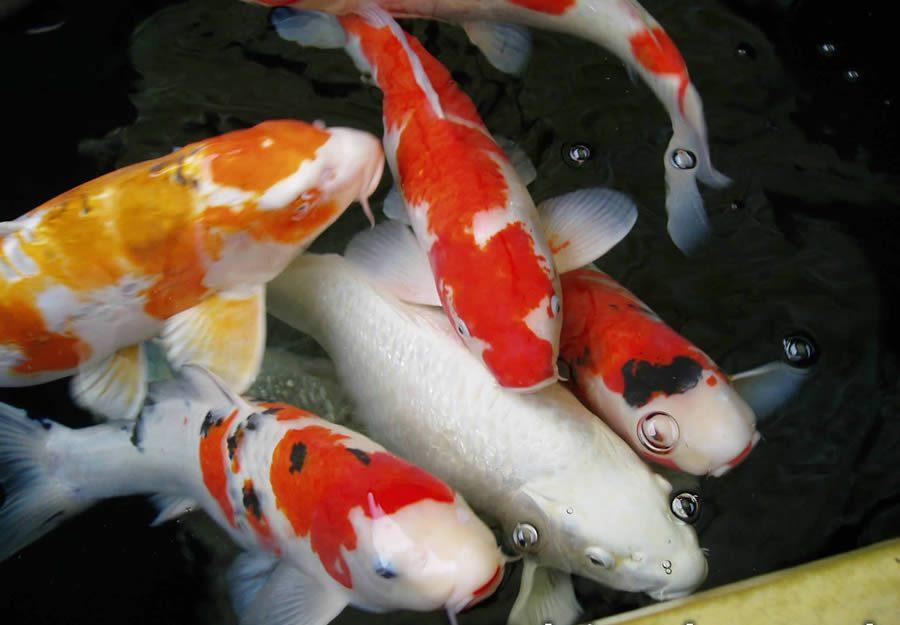 Jual Ikan Koi Batam
