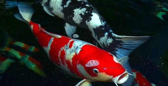 Jual Ikan Koi Palembang