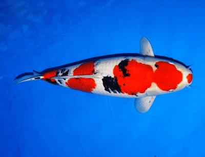 Jual Ikan Koi Sanke