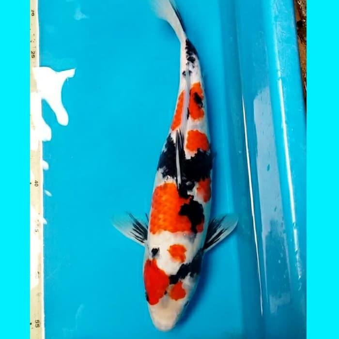 Jual Ikan Koi Showa