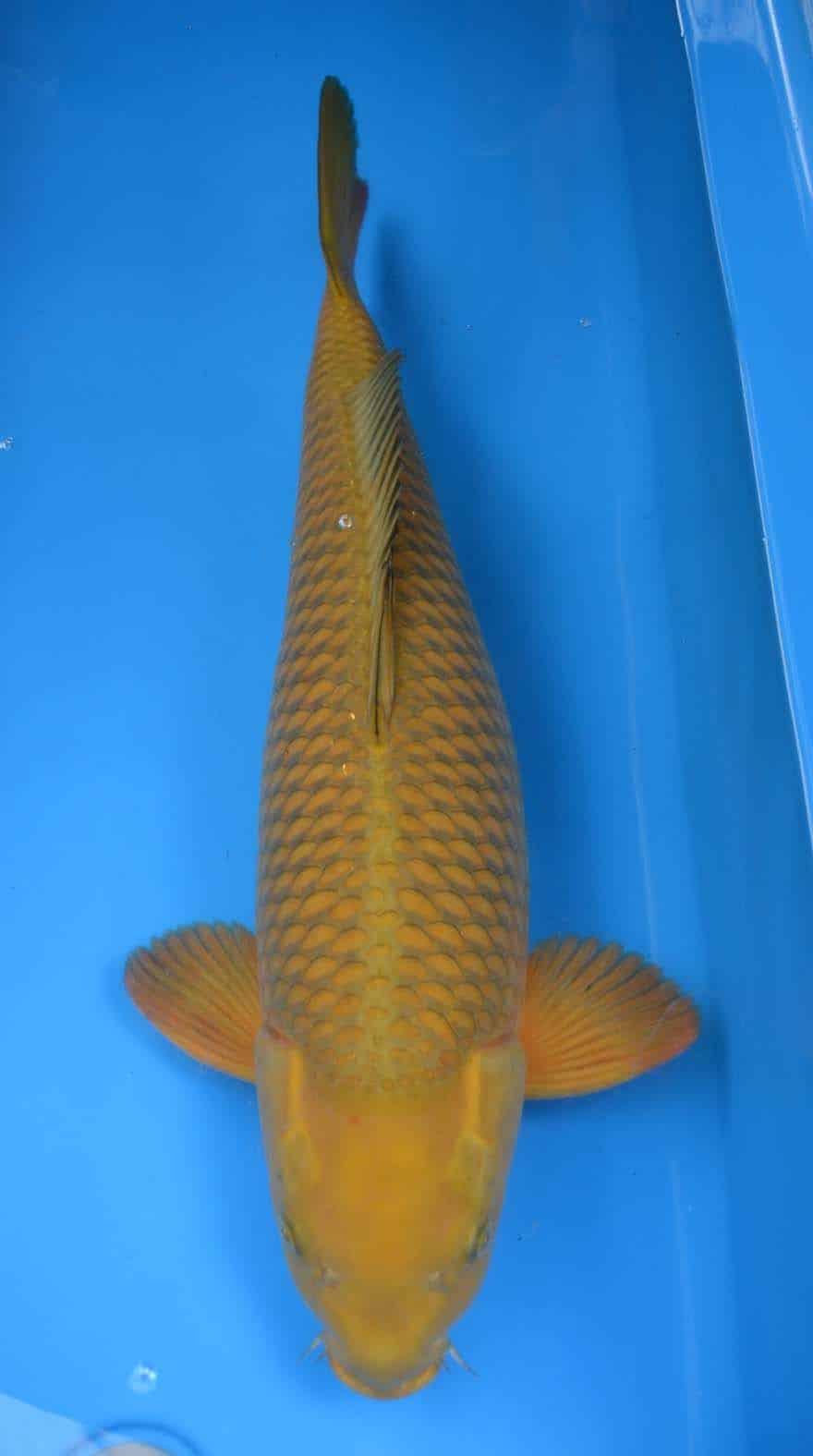 Jenis Ikan Koi Chagoi