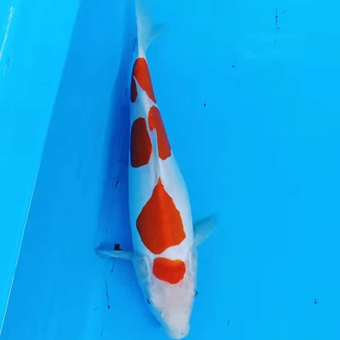 Harga Ikan Koi Kohaku