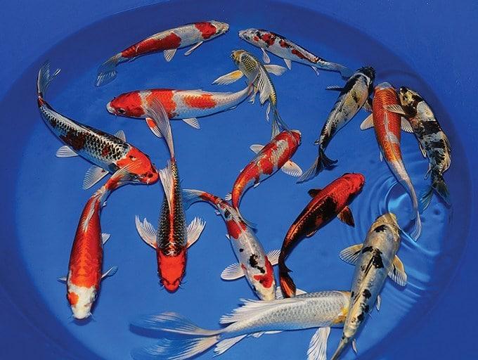 Jenis Ikan Koi Yang Cepat Besar