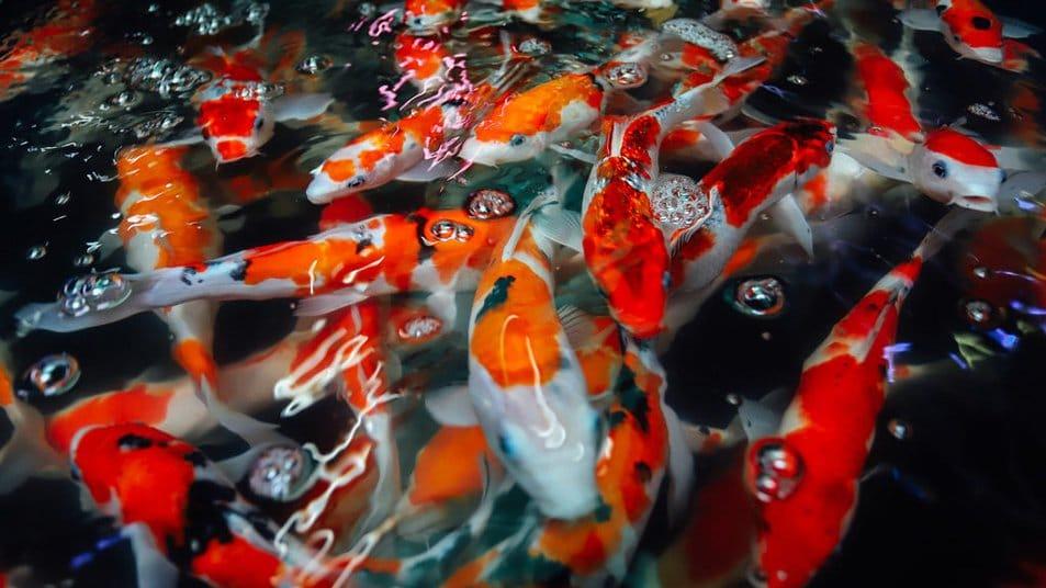 Jual Ikan Koi Pacitan