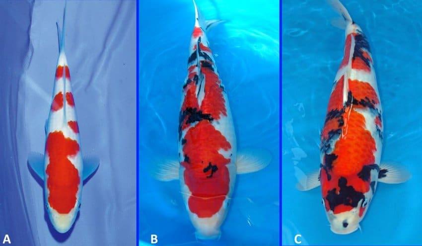 Jual Ikan Koi Banjarbaru