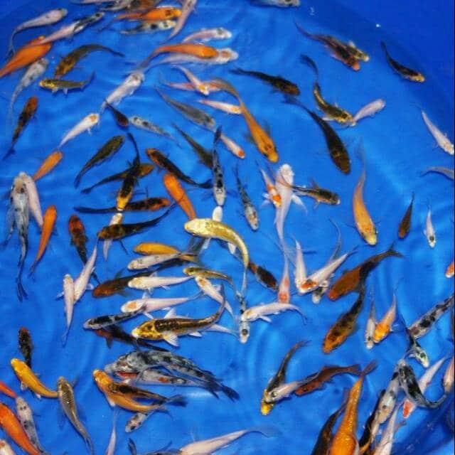 Harga Anakan Ikan Koi