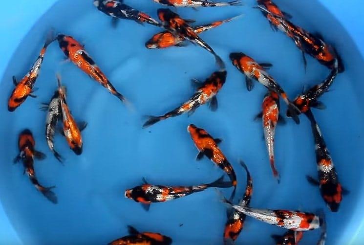 Harga Bibit Ikan Koi