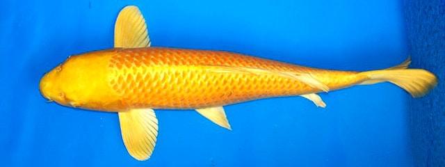 4 Jenis Ikan Koi Warna Kuning