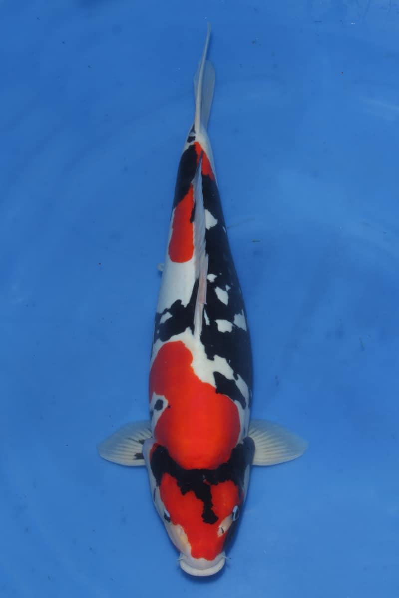 Jenis Ikan Koi Tanpa Sisik