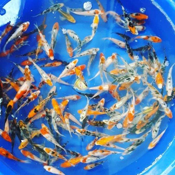 Pertumbuhan Ikan Koi Per Bulan