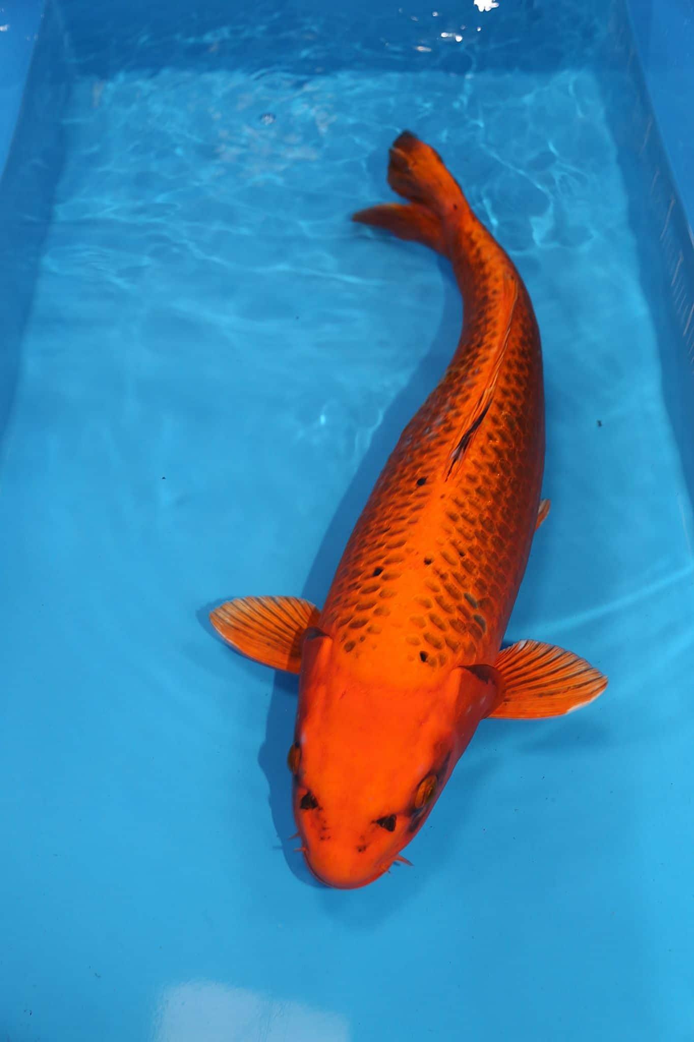 Harga Ikan Koi Lokal Kecil