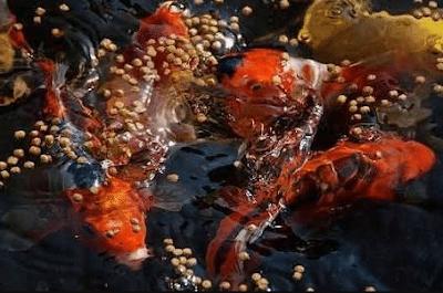 Pakan yang Baik Untuk Induk Ikan Koi